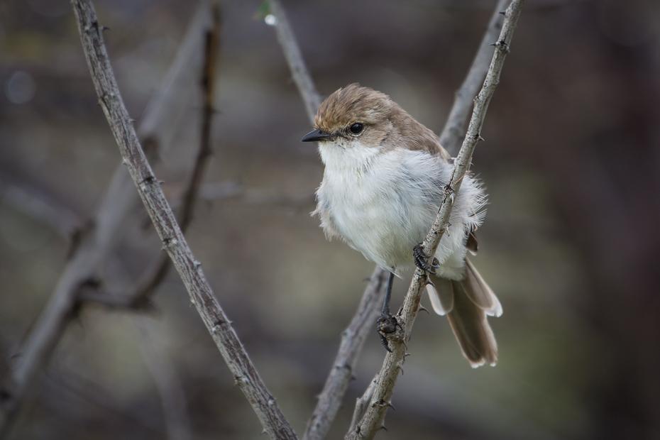 Mucharka białobrzucha Ptaki Nikon D7200 NIKKOR 200-500mm f/5.6E AF-S Namibia 0 ptak fauna dziób wróbel dzikiej przyrody strzyżyk zięba Wróbel gałąź ptak przysiadujący