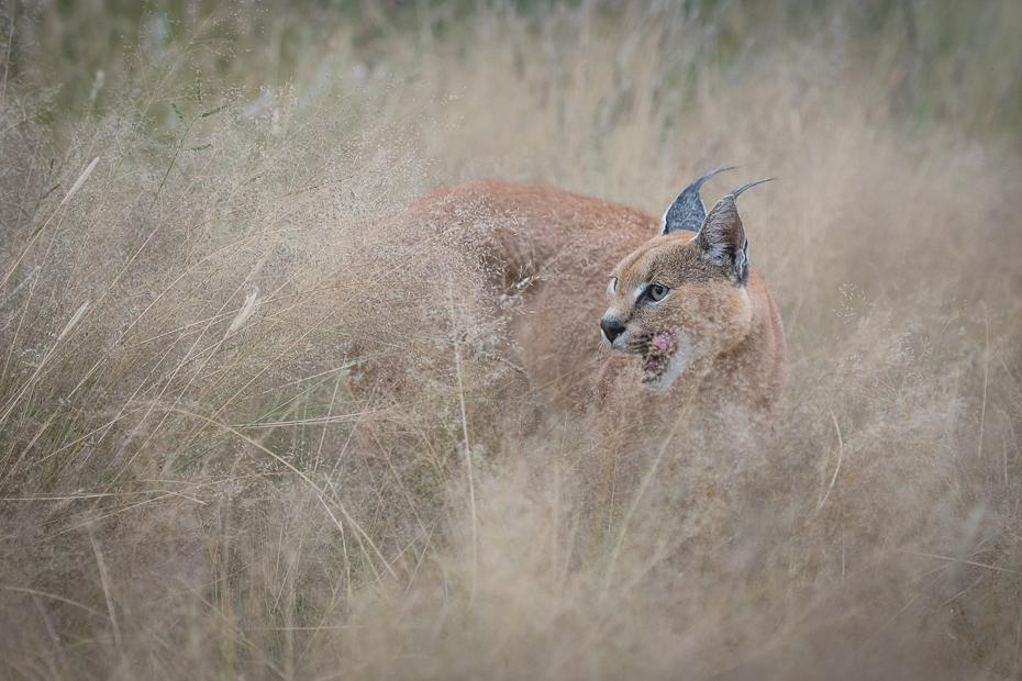 Karakal Ssaki Nikon D7100 AF-S Nikkor 70-200mm f/2.8G Namibia 0 dzikiej przyrody fauna ssak łąka trawa sawanna preria ecoregion safari rodzina traw