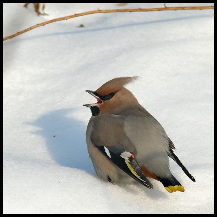 Jemiołuszka Moje jemiołuszka ptaki Nikon D200 Sigma APO 100-300mm f/4 HSM ptak fauna dziób śnieg pióro ptak przysiadujący