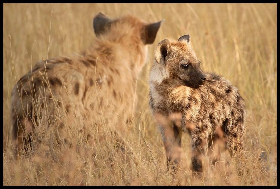 Hieny Przyroda hiena Nikon D200 Sigma APO 500mm f/4.5 DG/HSM Kenia 0 dzikiej przyrody zwierzę lądowe ssak fauna pustynia sawanna safari łąka ecoregion