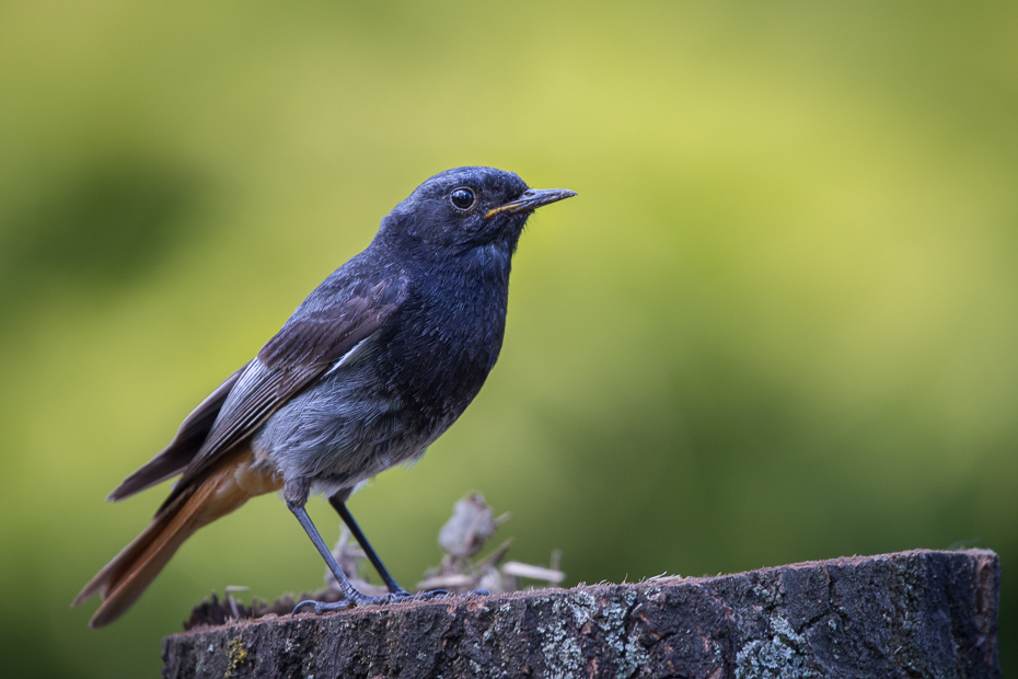 Kopciuszek Ptaki Nikon D7100 Sigma 150-600mm f/5-6.3 HSM Zwierzęta ptak fauna dziób dzikiej przyrody flycatcher starego świata strzyżyk skrzydło pióro organizm kos