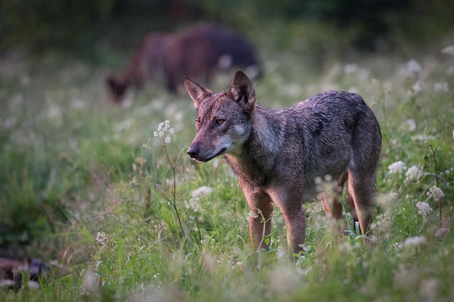Wilk 0 Lipiec Nikon D7100 AF-S Nikkor 70-200mm f/2.8G Biesczaty dzikiej przyrody ssak fauna szakal kojot trawa pies jak ssak pysk