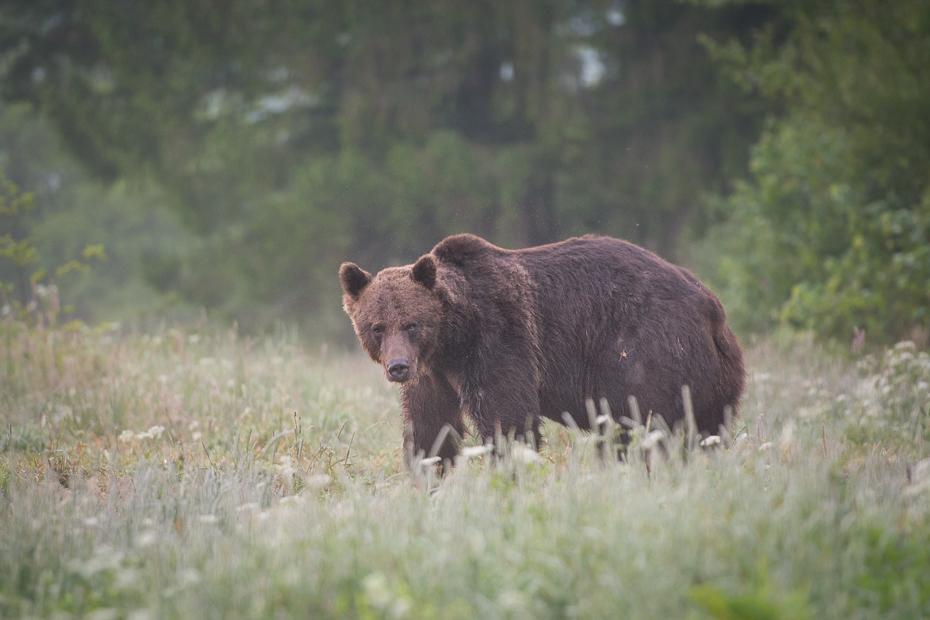 Niedźwiedź 0 Lipiec Nikon D7100 AF-S Nikkor 70-200mm f/2.8G Biesczaty brązowy niedźwiedź dzikiej przyrody Niedźwiedź grizzly pustynia zwierzę lądowe ssak fauna rezerwat przyrody amerykański czarny niedźwiedź