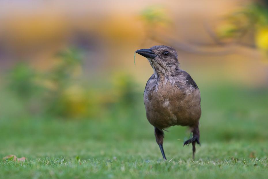 Wilgowron żaglosterny Ptaki Nikon D7100 NIKKOR 200-500mm f/5.6E AF-S 0 Panama ptak fauna dziób ekosystem dzikiej przyrody trawa kos ecoregion organizm łąka