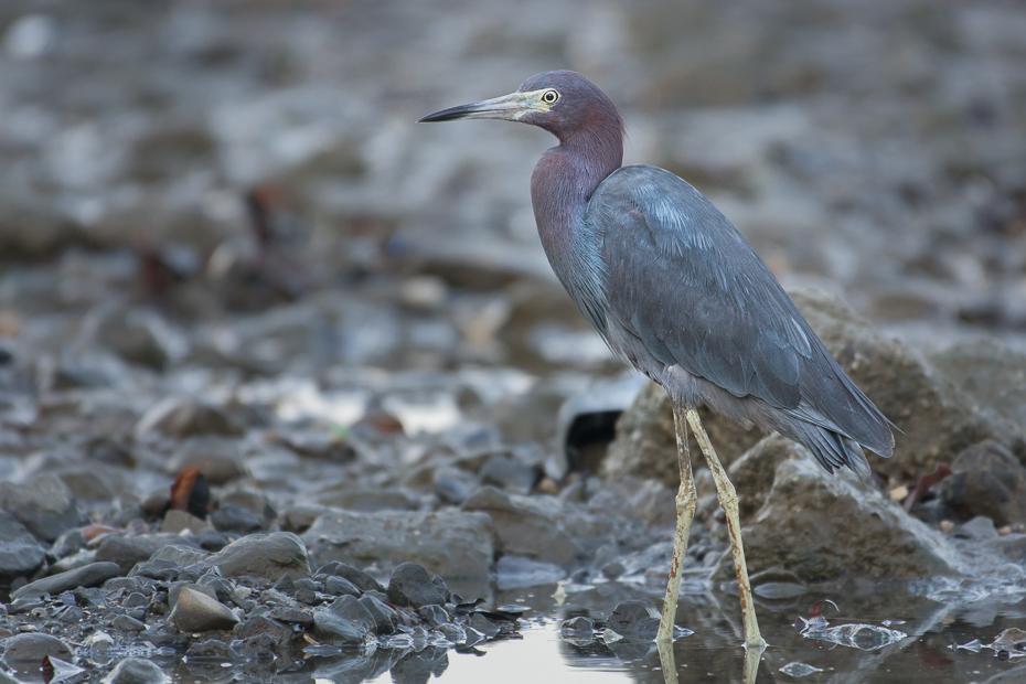 Czapla śniada Ptaki Nikon D7100 NIKKOR 200-500mm f/5.6E AF-S 0 Panama ptak fauna czapla dziób mała niebieska czapla pelecaniformes dzikiej przyrody shorebird woda