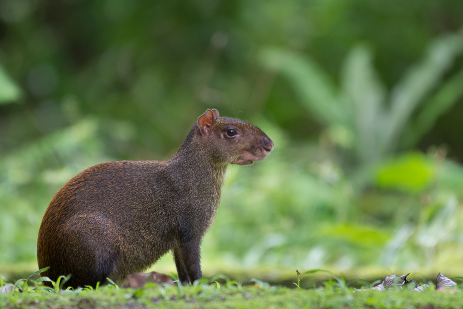 Agouti Ssaki Nikon D7100 NIKKOR 200-500mm f/5.6E AF-S 0 Panama fauna ssak dzikiej przyrody zwierzę lądowe organizm gryzoń wąsy wiewiórka trawa pysk