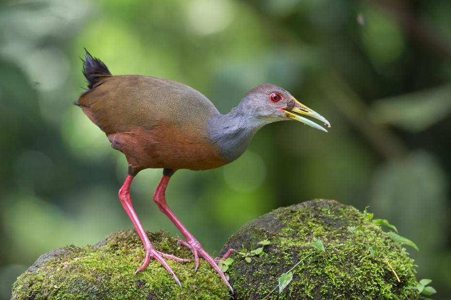 Chruścielak szaroszyi Ptaki Nikon D7100 NIKKOR 200-500mm f/5.6E AF-S 0 Panama ptak fauna dziób ibis żuraw jak ptak dzikiej przyrody organizm shorebird rallidae dźwig