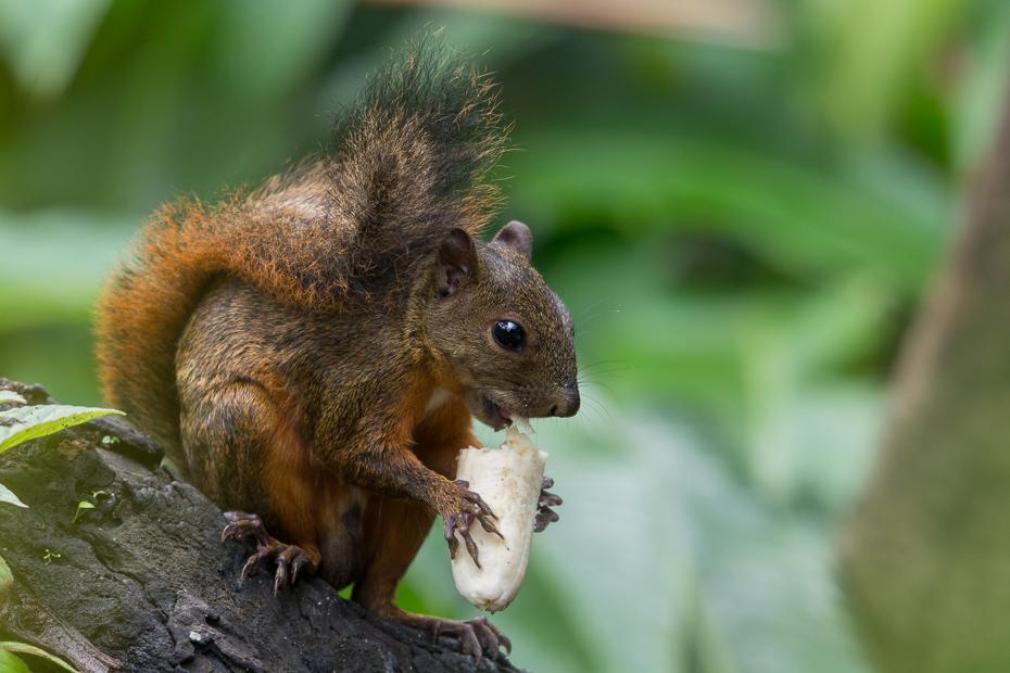 Wiewiórka Ssaki Nikon D7100 NIKKOR 200-500mm f/5.6E AF-S 0 Panama wiewiórka fauna ssak lis wiewiórka dzikiej przyrody gryzoń organizm pysk zwierzę lądowe drzewo