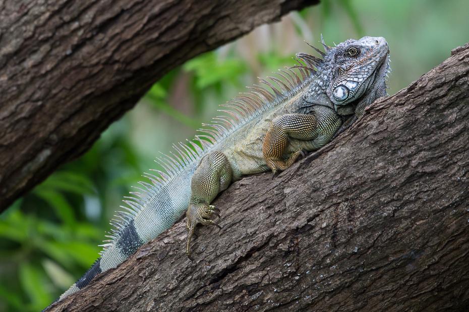 Iguana Gady Nikon D7100 NIKKOR 200-500mm f/5.6E AF-S 0 Panama gad iguana skalowany gad jaszczurka Igwa fauna lacertidae zwierzę lądowe organizm lacerta