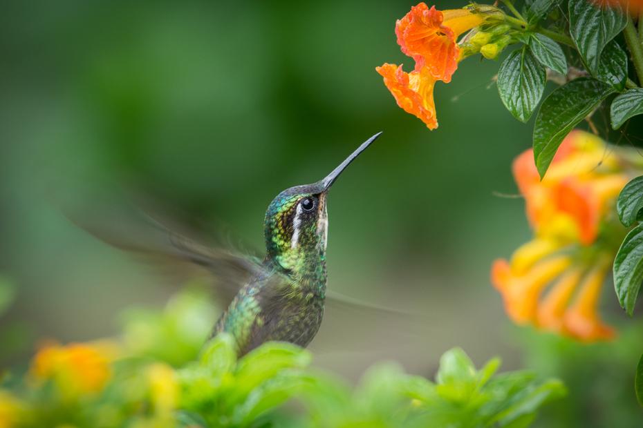 Malachicik białogardły Ptaki Nikon D7100 NIKKOR 200-500mm f/5.6E AF-S 0 Panama ptak koliber fauna dziób flora dzikiej przyrody zapylacz organizm nektar fotografia makro