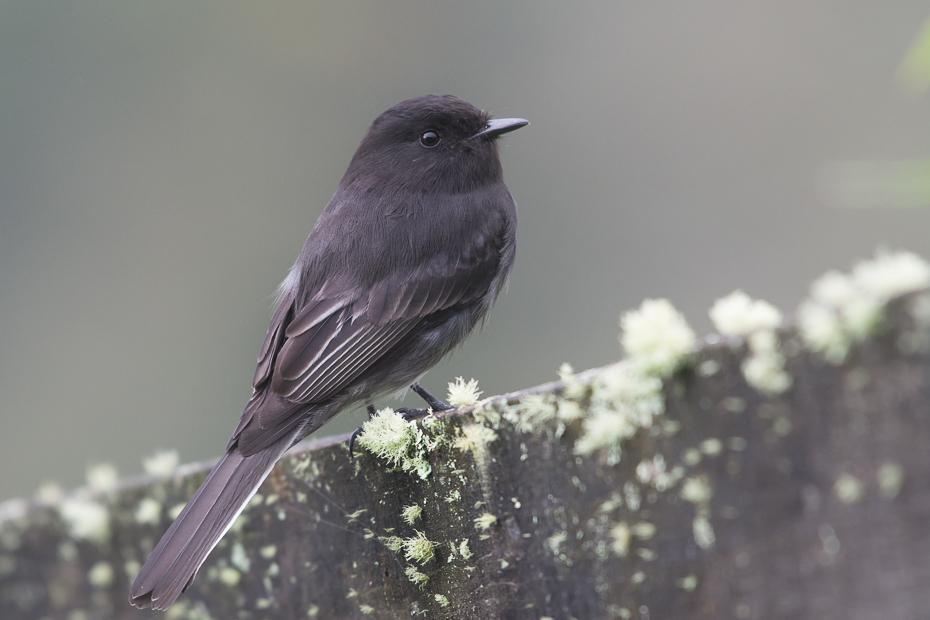 Fibik czarny Ptaki Nikon D7100 NIKKOR 200-500mm f/5.6E AF-S 0 Panama ptak fauna dziób flycatcher starego świata pióro dzikiej przyrody kos Emberizidae skrzydło organizm