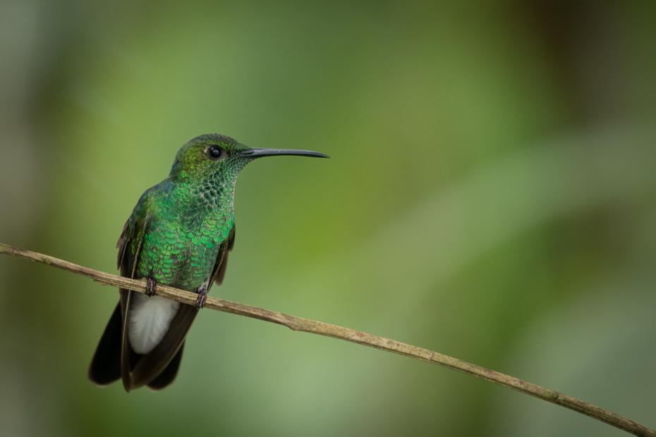 Szmaragdzik złotogrzbiety Ptaki Nikon D7100 NIKKOR 200-500mm f/5.6E AF-S 0 Panama ptak koliber dziób fauna dzikiej przyrody ranek ścieśniać jacamar zapylacz pióro