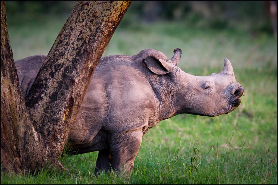Młody nosorożec Zwierzęta Nikon D300 Sigma APO 500mm f/4.5 DG/HSM Kenia 0 dzikiej przyrody zwierzę lądowe ssak fauna trawa pysk róg organizm pasący się