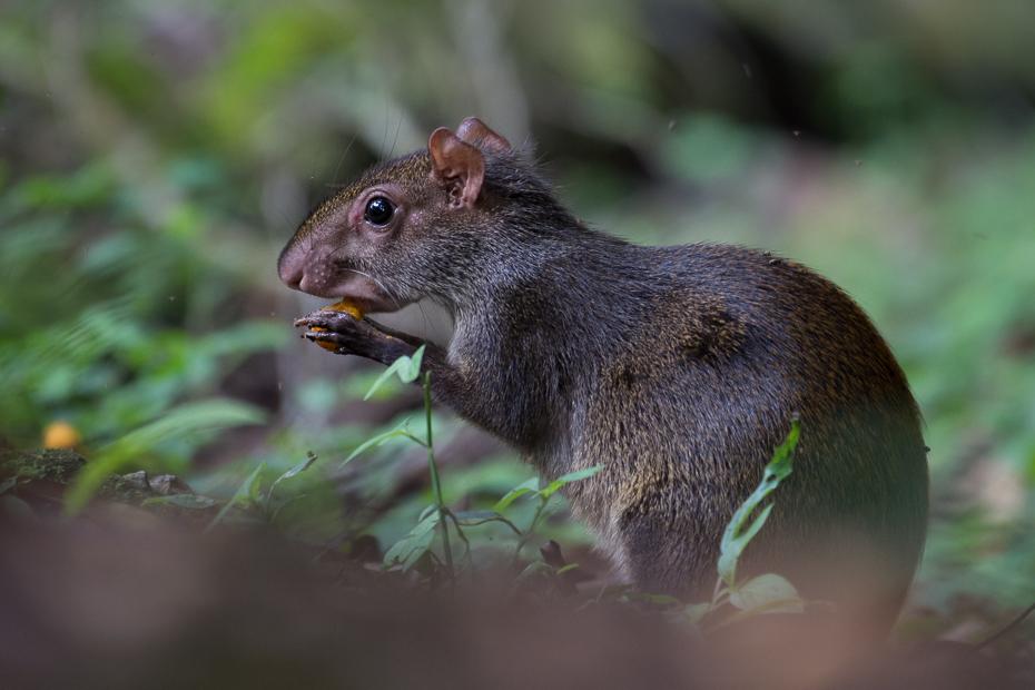 Agouti Ptaki Nikon D7200 NIKKOR 200-500mm f/5.6E AF-S 0 Panama fauna ssak dzikiej przyrody wiewiórka gryzoń zwierzę lądowe wąsy organizm pysk mysz