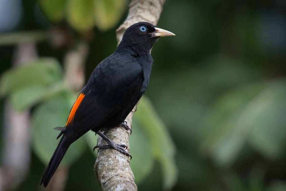 Kacyk krótkodzioby Ptaki Nikon D7200 NIKKOR 200-500mm f/5.6E AF-S 0 Panama ptak dziób fauna kos organizm flycatcher starego świata dzikiej przyrody ptak przysiadujący skrzydło