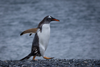 Pingwin Gentoo