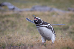 Pingwin Magellański