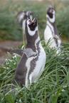 Pingwiny Magellańskie