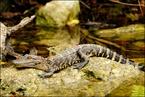Mody aligator|escape