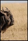 Antylopa gnu #5