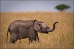 Młody słoń|escape