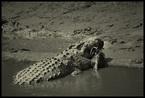 Krokodyl i Gnu