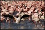 Flamingi #2