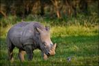 Młody nosorożec