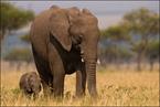 Słoń z młodym