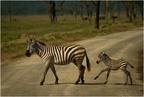 Zebra ze źrebakiem