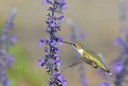 Koliberek rubinobrody|escape