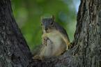 Wiewiórka z San Antonio