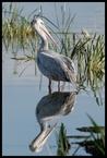 Pelikan #3