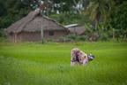 Plantacja ryżu
