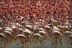 Flamingi na jeziorze Bogoria