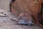 Mysz polna