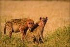 Najedzone hieny