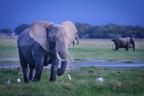 Słoń afrykański|escape