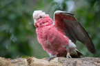 Kakadu różowa|escape