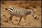 Zebra #23