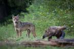 Wilk i orzeł przedni