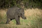Słoń cejloński