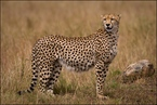 Ciężarna samica geparda|escape
