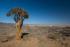 Drzewo kołczanowe