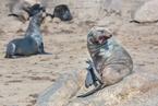 Kotiki karłowate z Cape Cross