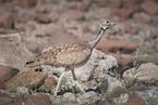 Dropik namibijski