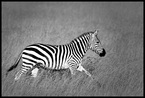 Zebra #21