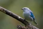 Tanagra niebieska