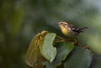 Lasówka rudogardła|escape