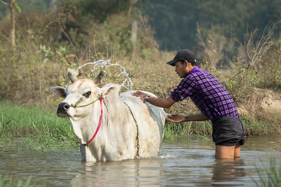 Mycie krów Ludzie Nikon D7200 AF-S Nikkor 70-200mm f/2.8G 0 Myanmar bydło takie jak ssak woda dzikiej przyrody obszar wiejski żywy inwentarz wół zabawa drzewo
